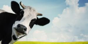 o-COW-facebook